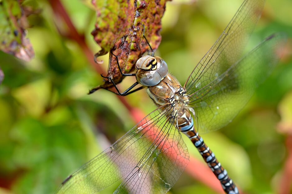 Dragonfly_11