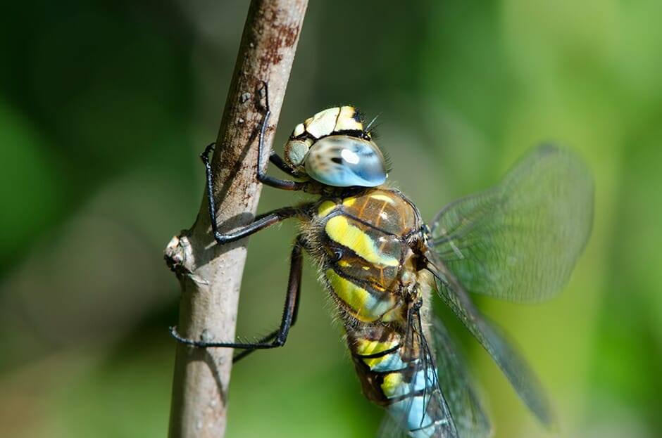 Dragonfly_12