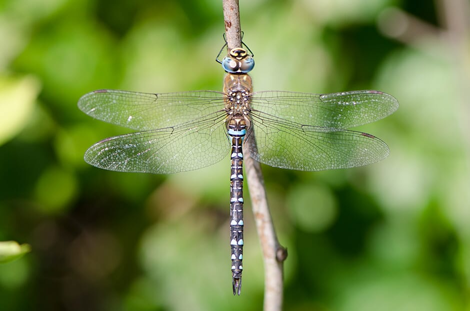 Dragonfly_7